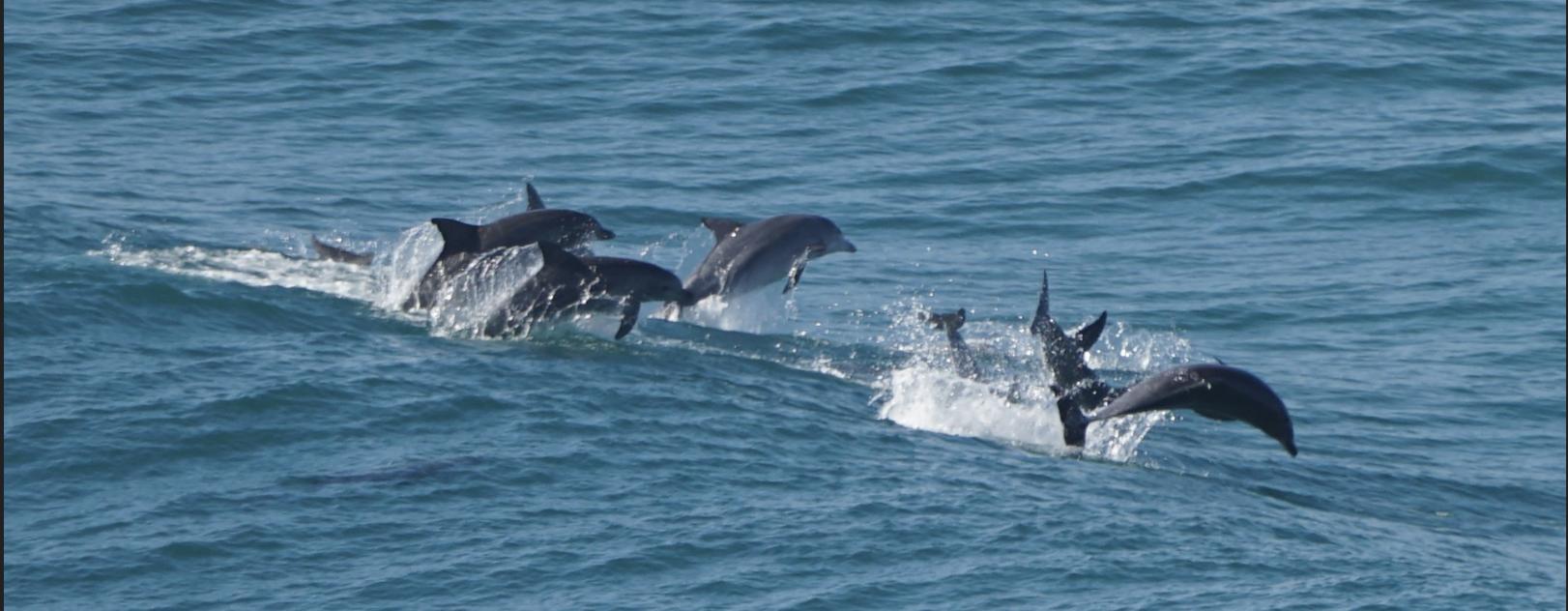 dolphins_awabakal